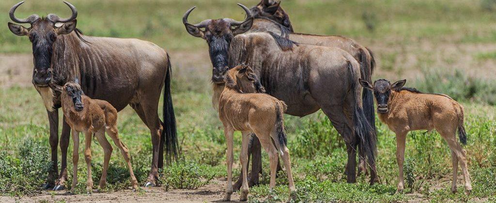 Wildebeests-Migration-Calving-Safari-Tanzania