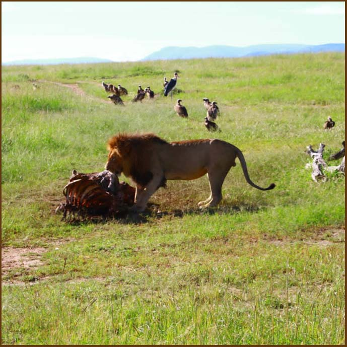lion-serengeti