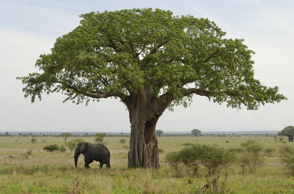 elephant and baobao tree tarangire national park