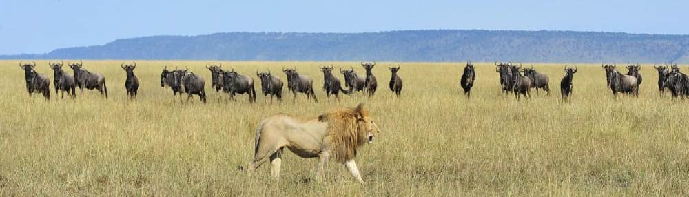 lions-wildebeest-serengeti-safari-great-migration
